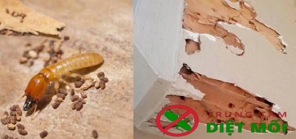 Mối làm tổ trong nhà là tốt hay xấu?